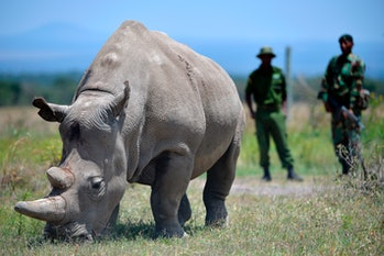 Najin, 30, and her offspring Fatu (unseen), 19, two female northern white rhinos, the last two northern white rhinos left on the planet, graze in their secured paddock on August 23, 2019 at the Ol Pejeta Conservancy in Nanyuki, 147 kilometers north of the Kenyan capital, Nairobi.