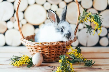 Rabbit in a basket with mimosa sprigs. Easter composition.
