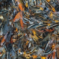 Fish stress can change their spawn genetically forever