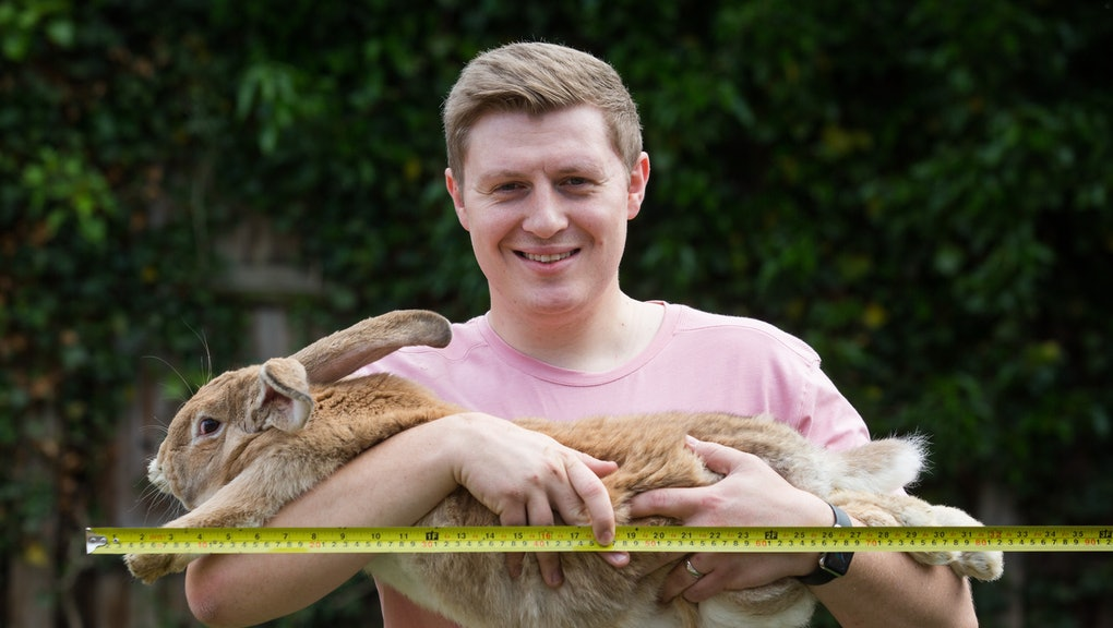 *** EXCLUSIVE - VIDEO AVAILABLE ***  BASILDON, UNITED KINGDOM - MAY 18: Dexter the Giant Continental Rabbit, aged 10 months, at home with its owner Brad Paynte in Essex on May 18, 2017 in Basildon, England.  A THREE-FOOT long rabbit is gunning to become the worlds biggest bunny - and hes only 10-months-old. Dexter, the humongous bunny from Basildon, Essex, already weighs more than three times the size of an average newborn baby and has at least another two years to grow to his full potential. Brad Paynter, Dexters owner, is more than optimistic his giant pet can outgrow the worlds biggest bunny, Darius - the 4ft 4 rabbit who just happens to be Dexters father.   PHOTOGRAPH BY Adam Gray / Barcroft Images  London-T:+44 207 033 1031 E:hello@barcroftmedia.com - New York-T:+1 212 796 2458 E:hello@barcroftusa.com - New Delhi-T:+91 11 4053 2429 E:hello@barcroftindia.com www.barcroftimages.com (Photo credit should read Adam Gray / Barcroft Media via Getty Images / Barcroft Media via Getty Images)