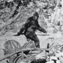 Photo shows what former rodeo rider Roger Patterson said is the American version of the Abominable Snowman. He said pictures of the creature, estimated at 7 1/2 feet tall, were taken northeast of Eureka, California.