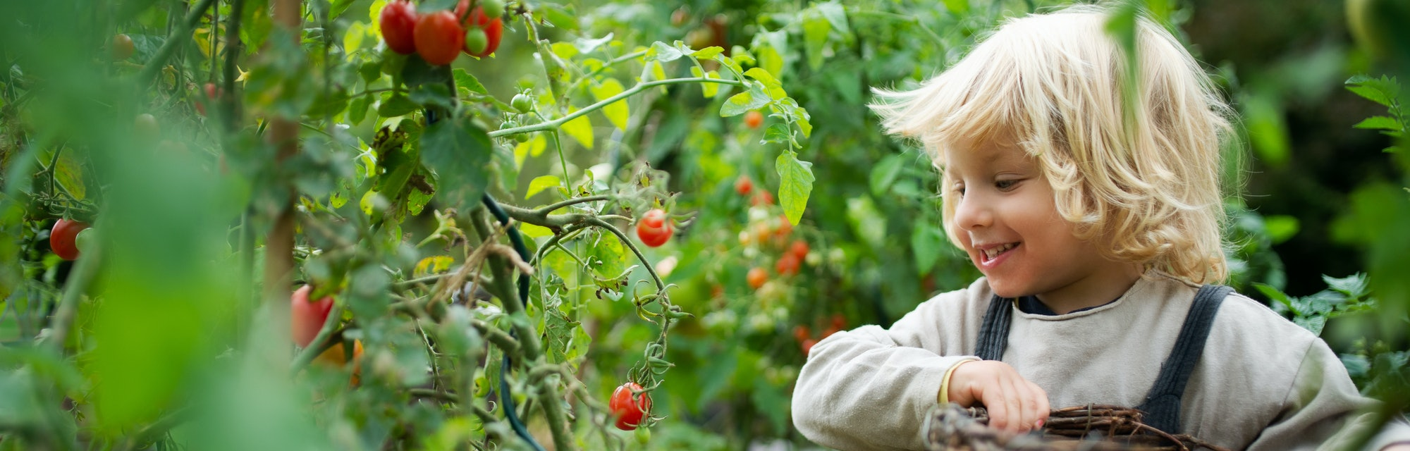 Happy small boy collecting cherry tomatoes outdoors in garden, sustainable lifestyle concept