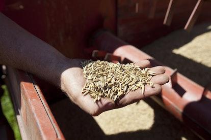 NORTH BENNINGTON, VERMONT - JULY 25: John Williamson checks the harvest of a field of oats July 25, ...