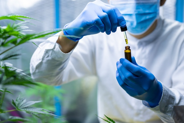 Medical scientist with mask and gloves checking hemp plants in a greenhouse. Concept of herbal alternative medicine, cbd oil, pharmaceptical industry