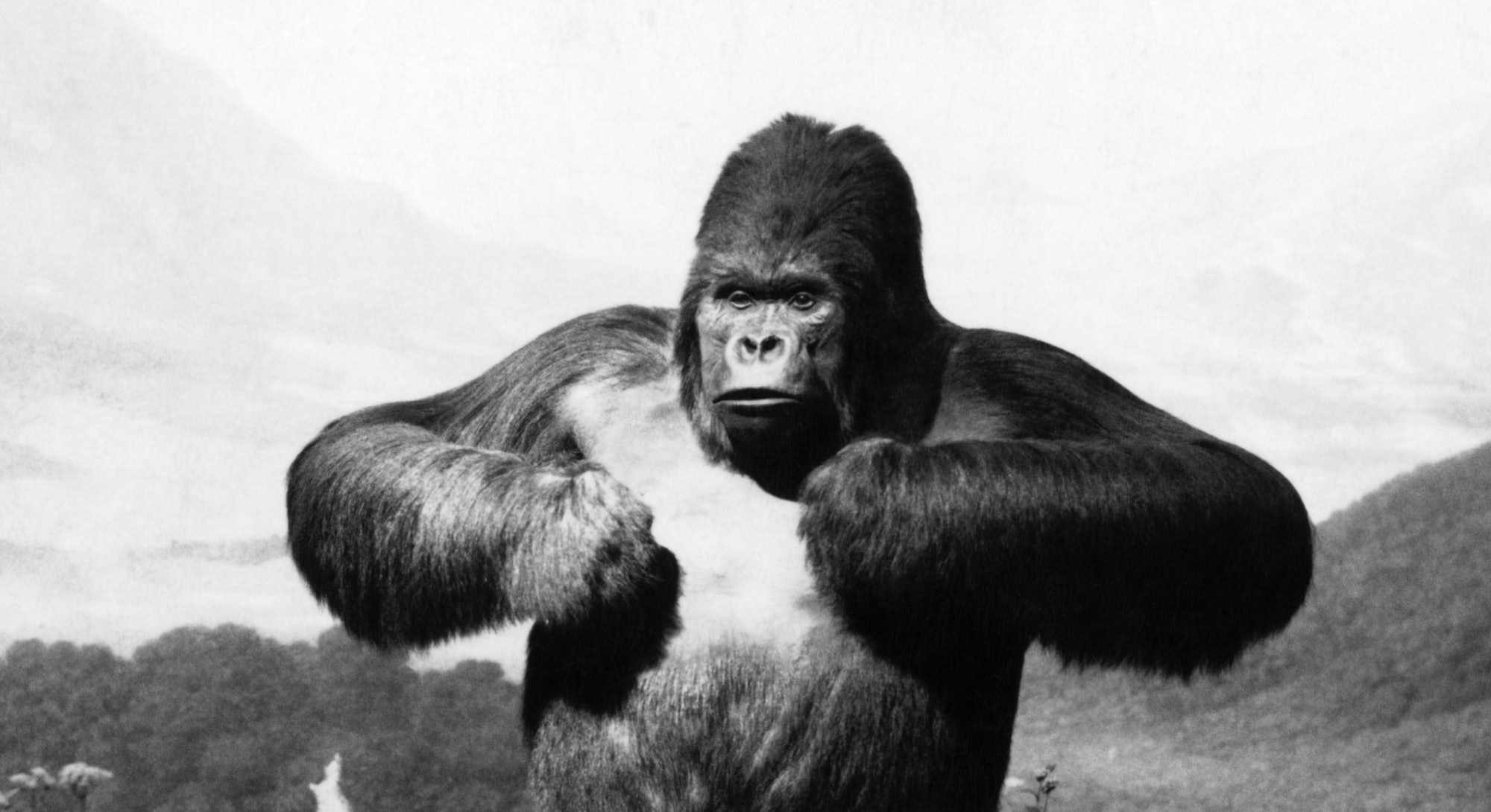 1940s STUFFED GORILLA Gorilla gorilla TOWERING ABOVE JUNGLE BEATING CHEST IN MUSEUM DIORAMA  (Photo by H. Armstrong Roberts/ClassicStock/Getty Images)