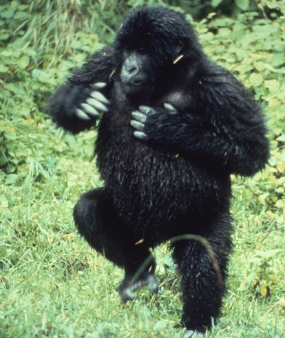 Female Mountain Gorilla beating chest, Virunga volcano range, Zaire, 1982, Gorilla gorilla biringei. (Photo by:  Education Images/Universal Images Group via Getty Images)