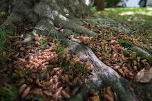 LAKE RIDGE, VA- MAY 31: Brood II cicadas fill the roots of a tree on May 31, 2013 in Lake Ridge, VA....