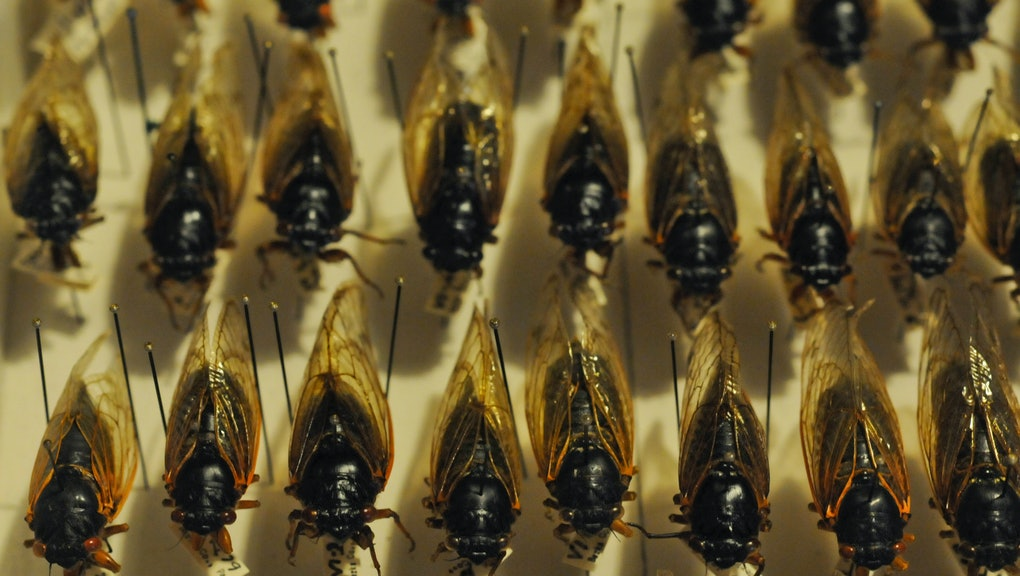 Matthew J. Spence, retired director of science at Reading High School, has collected 17-year, periodical cicadas from throughout Berks County since 1979.   Photo by Bill Uhrich  4/2/2013 (Photo By MediaNews Group/Reading Eagle via Getty Images)