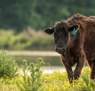 Black Angus Beef cow walking by lake in field in South Carolina