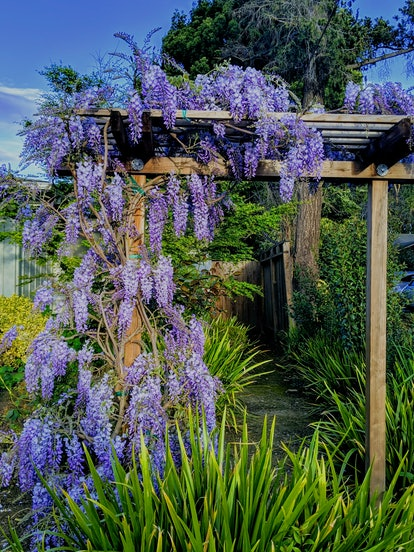 Japanese wisteria on a wooden pergola