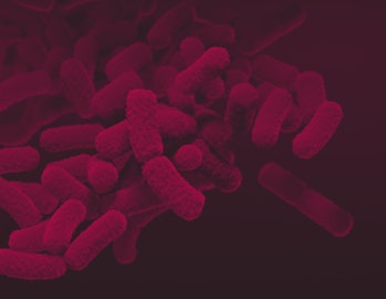 Illustration of Enterobacteriaceae bacteria. Individual bacterium are shown as pink rod shapes. The ...