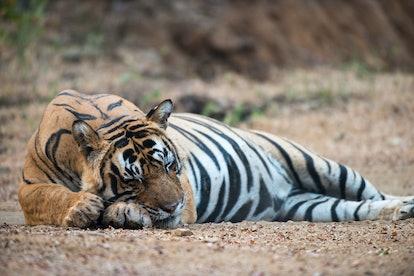 Bengal tiger (Panthera tigris tigris) sleeping on track, Ranthambhore National Park, Rajasthan, Indi...