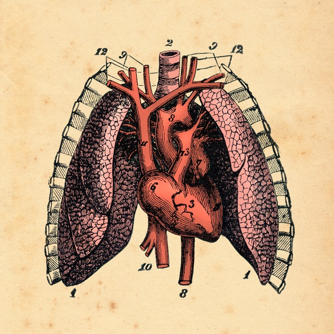 Heart and lung. Coronary circulation is the circulation of blood in the blood vessels that supply the heart muscle ( myocardium ). Coronary arteries supply oxygenated blood to the heart muscle, and cardiac veins drain away the blood once it has been deoxygenated. Original edition from my own archives Source : Historia Natural 1886