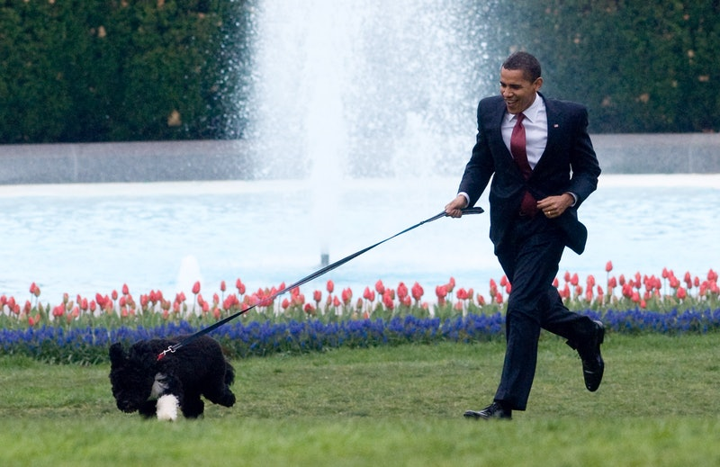 Barack Obama is pulled by the family's dog Bo as he walks on the South Lawn of the White House in W...