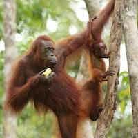 Orangutan teenagers share a captivating trait with human children