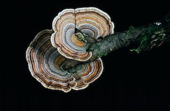 Polyporaceae