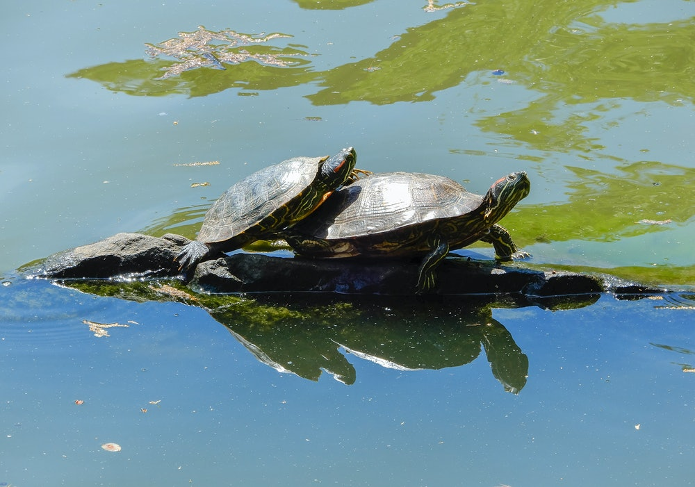 Red-eared slider terrapins, Central Park, New York City