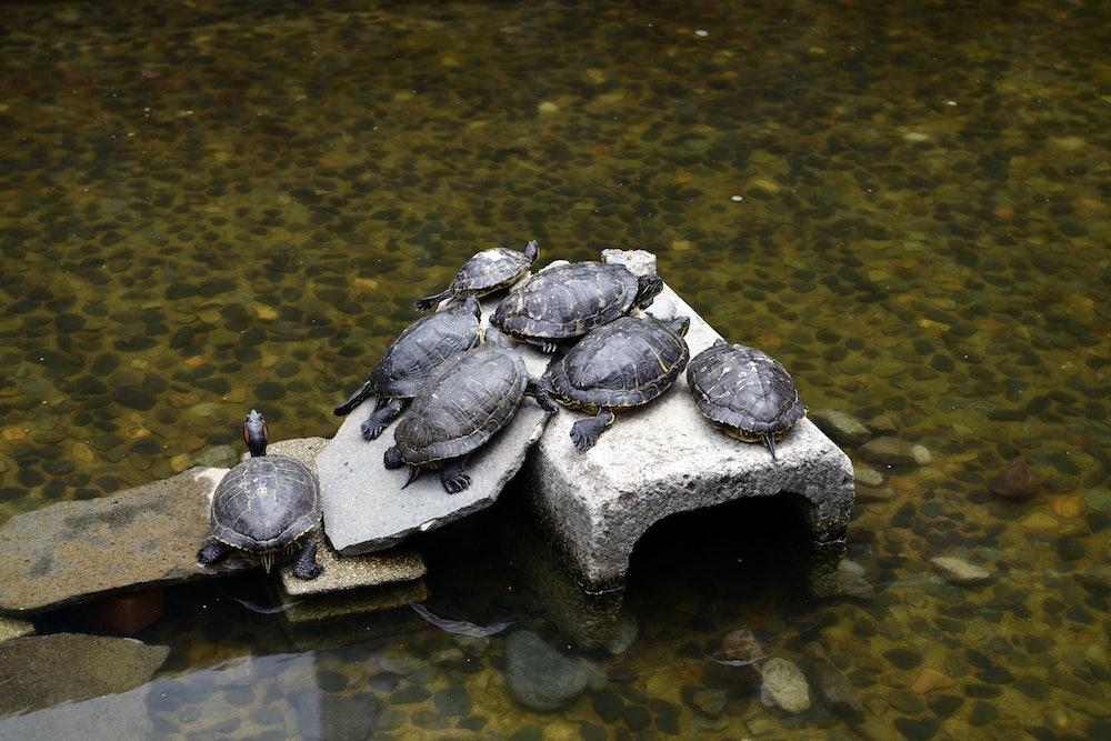 Group of Turtle at Shinjuku Central Park, Kantō Region, Tokyo, Japan.