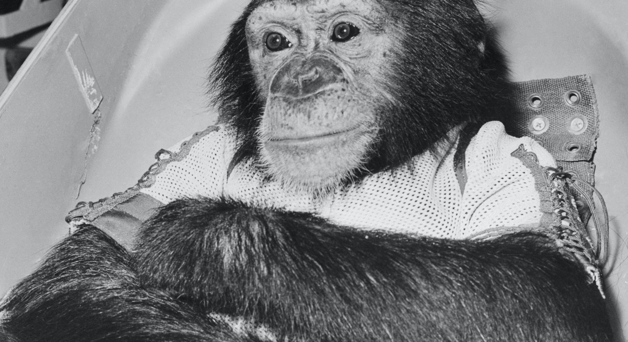Ham the space chimp seems to be saying as he folds his arm and waits to be lifted out of the space capsule which carried him on his historic flight.