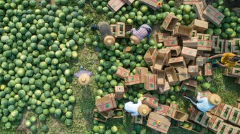 WANNING, CHINA - MARCH 26: Aerial vie wof farmers harvesting watermelons at a field on March 26, 202...
