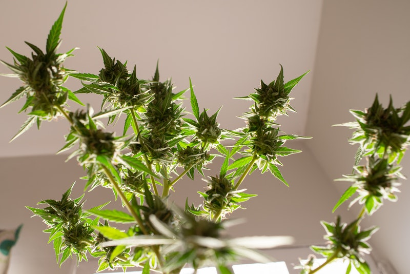 CBD flower. Can you take CBD and antidepressants? A doctor explains what to know about mixing CBD oi...