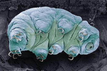 Water bear. Coloured scanning electron micrograph (SEM) of a water bear, or tardigrade (phylum Tardi...