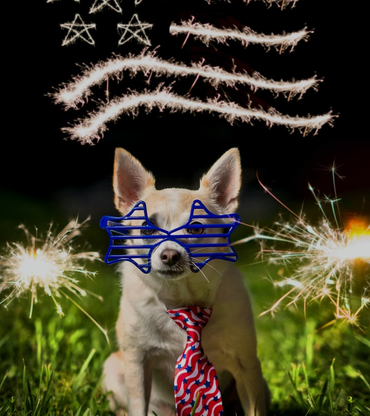 A tan and white Chihuahua wears patriotic accessories, including star shaped sunglasses and a stars ...