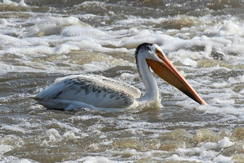 An American White Pelican swims in white water.