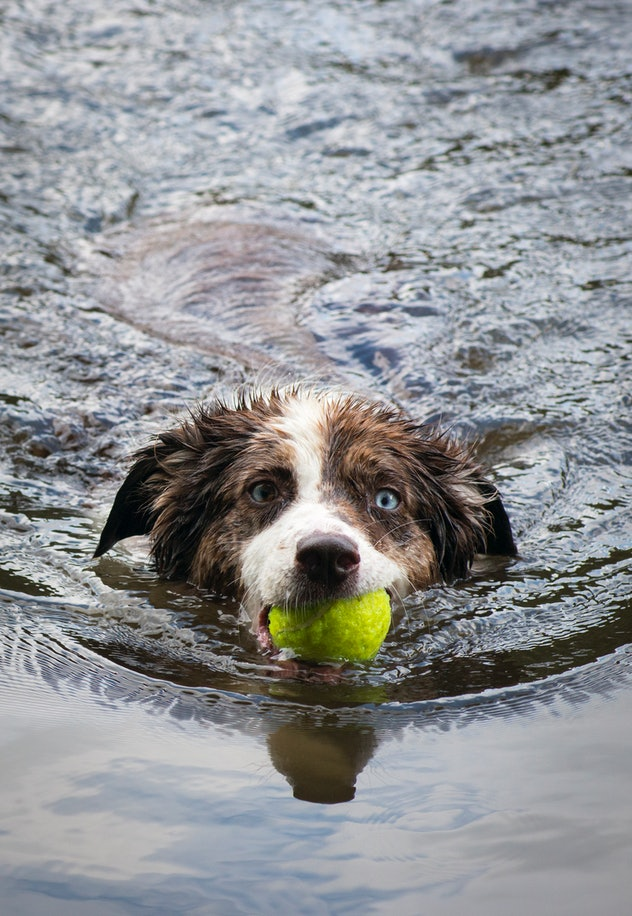 Boulder, Colorado - An Australian Shepherd swims towards the camera with a ball in her mouth in one ...