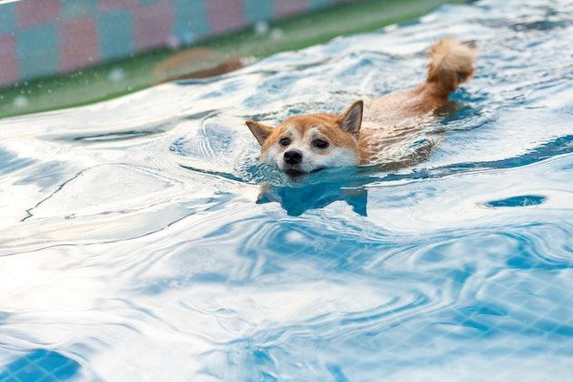 Shiba Inu swims in a swimming pool in Japan on July 24, 2020