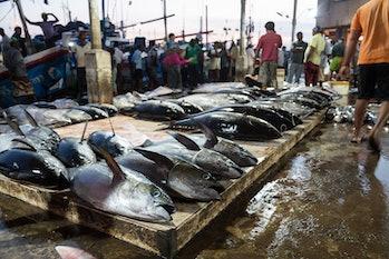 February 17, 2016: Negombo Beach, Sri Lanka - Tuna fish are laid out on the floor of the Negombo Fis...
