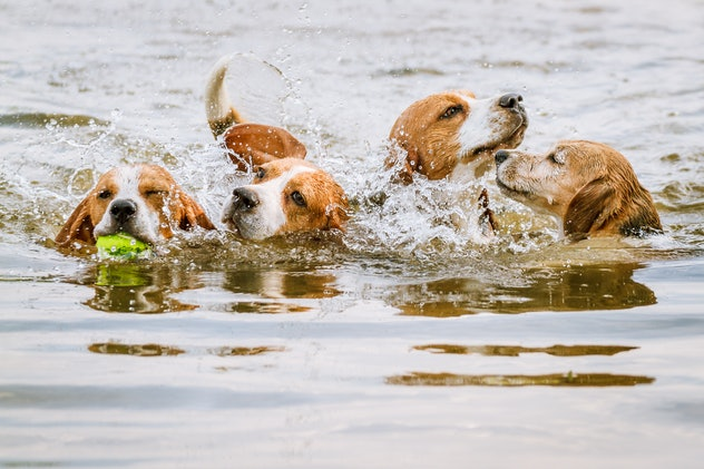 Four beagles swimming and splashing in a lake