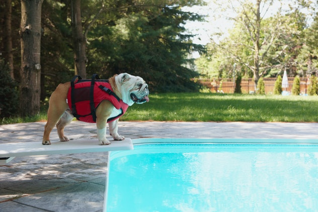 a bulldog on the diving board