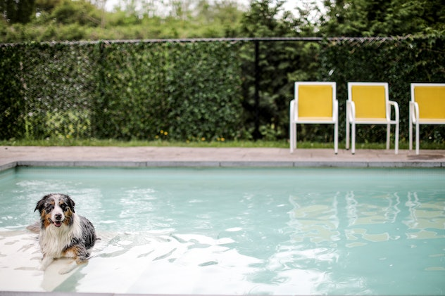 A beautiful blue merle Australain Shepherd relaxes in a concrete inground pool.