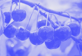 CRIMEA, RUSSIA  JUNE 7, 2021: Wild cherries in an orchard of the Pobeda company in the village of Zh...