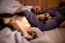 large dog resting, pampered, pampered in the arms of its owner in the bedroom at night