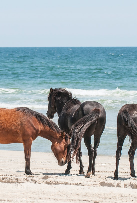 Wild mustangs in the outer banks