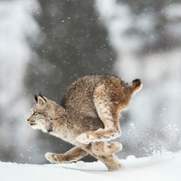 """Scientists put mics on a lynx and """"opened a new world"""""""