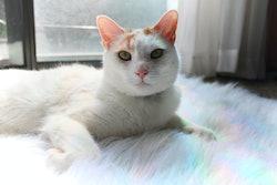 white cat on a furry rainbow rug