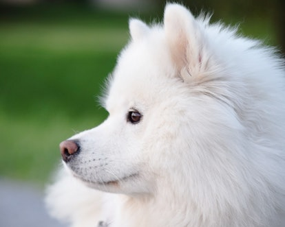 Samoyed dogs are great for people with allergies.