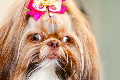 Shih Tzu dogs are great for people with allergies.