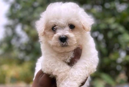 Bichon Frise dogs are great for people with allergies.