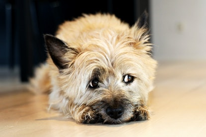 Cairn Terrier dogs are great for people with allergies.