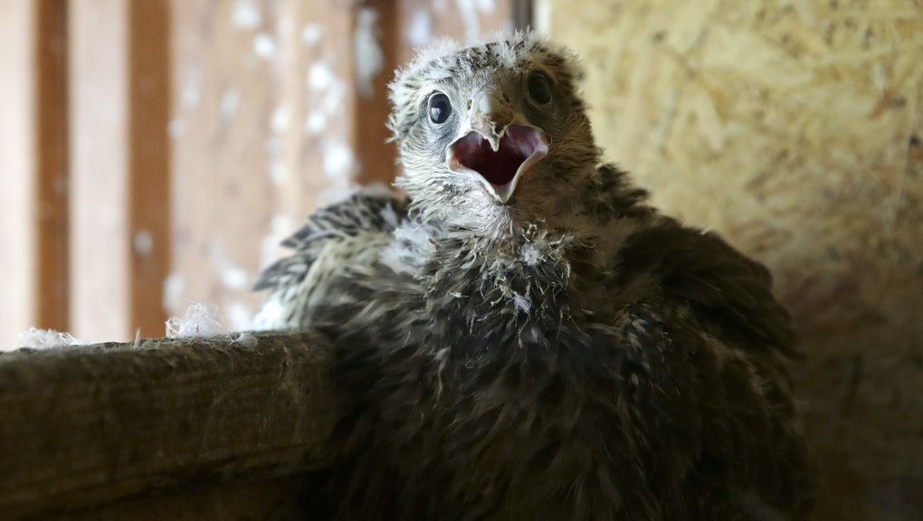 ALTAI TERRITORY, RUSSIA  JUNE 21, 2021: A baby saker falcon at the Taigun breeding and rehabilitatio...