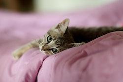 light gray kitten lying on pink bed
