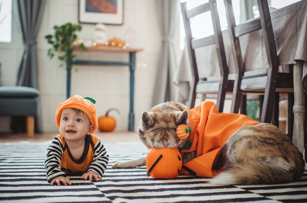 Baby boy in pumpkin costume at home for Halloween, he crawling on floor, his dog in costume is with ...