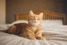 Ginger cat lying on a bed, looking happy.