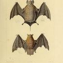 Fruit bat, illustration. From the book 'Voyage dans l'Amerique Meridionale' (Journey to South Americ...