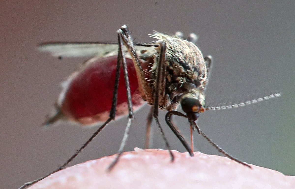 MOSCOW REGION, RUSSIA - JUNE 11, 2021: A mosquito feeds in the village of Povarovo, 50km northwest o...