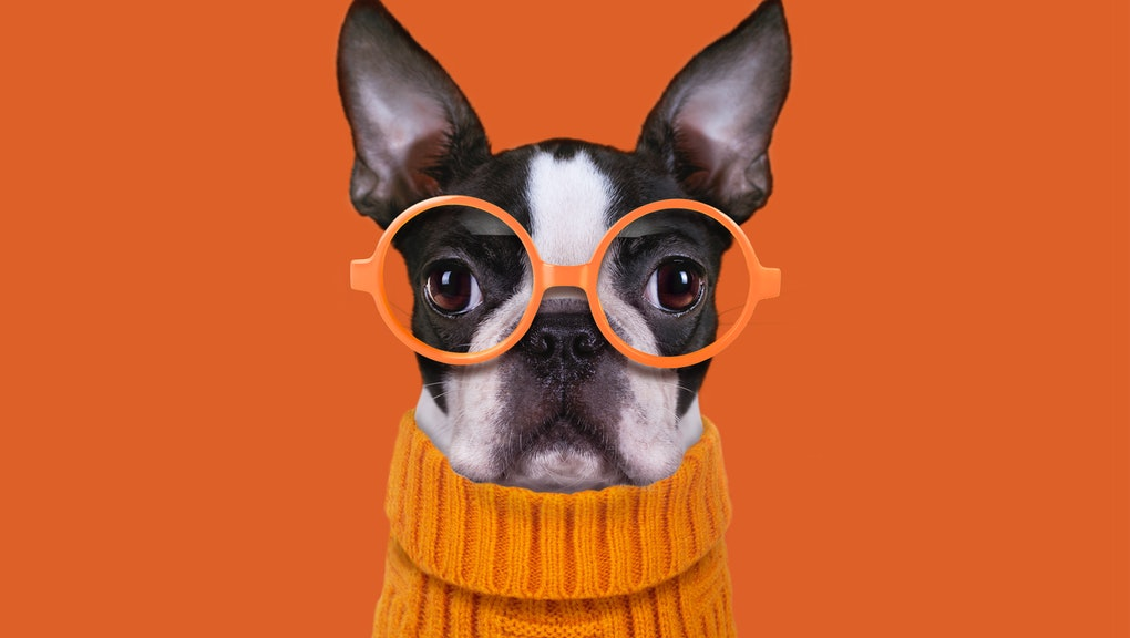 Boston terrier with eyes glasses on orange background